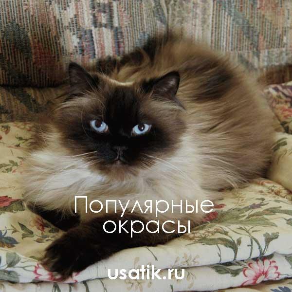 Популярные окрасы гималайских кошек