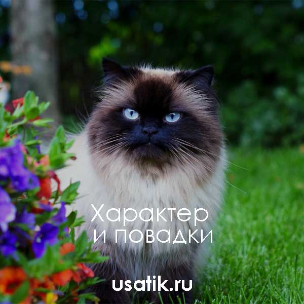 Характер и повадки гималайских кошек