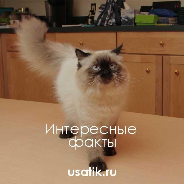 Интересные факты о гималайских кошках