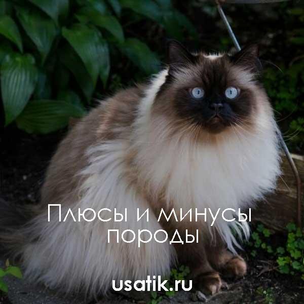Плюсы и минусы гималайских кошек