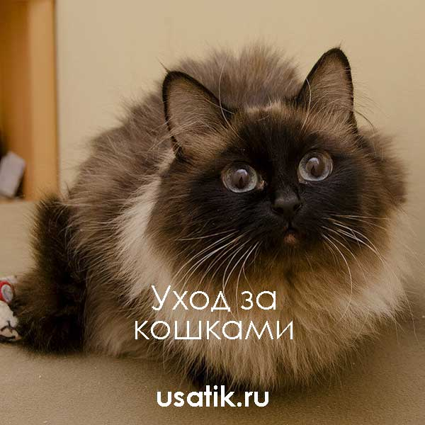 Уход за гималайскими кошками