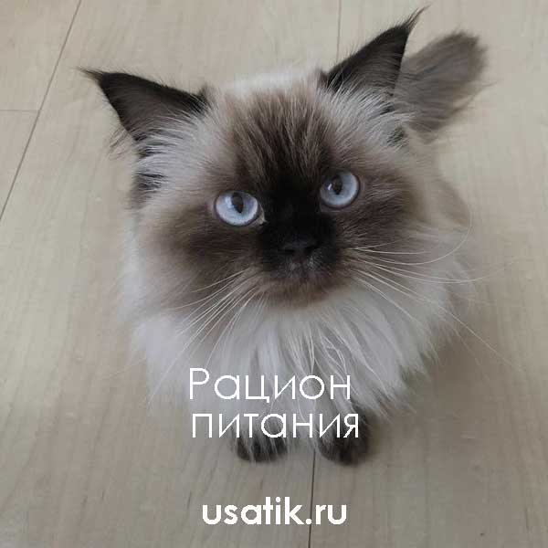 Рацион питания гималайских кошек