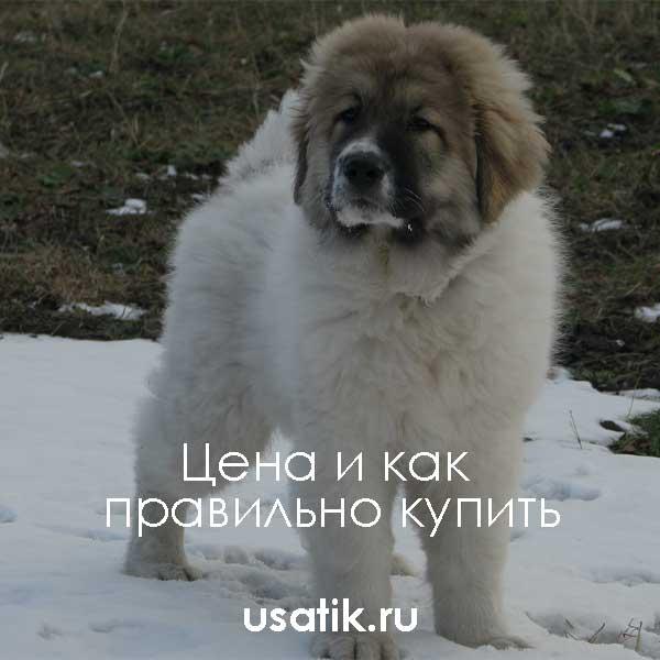 Кавказская овчарка - цена и как правильно купить