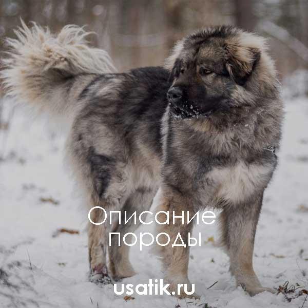 Кавказская овчарка - описание породы