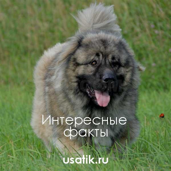 Интересные факты о кавказских овчарках