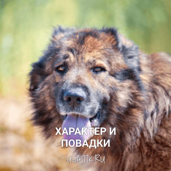 Характер и повадки кавказских овчарок