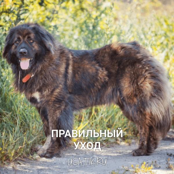 Уход за кавказскими овчарками