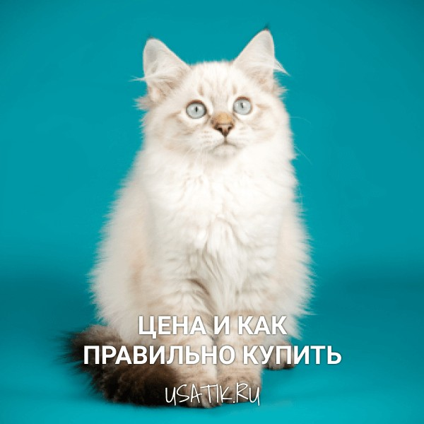 Невская маскарадная кошка - цена и как правильно купить