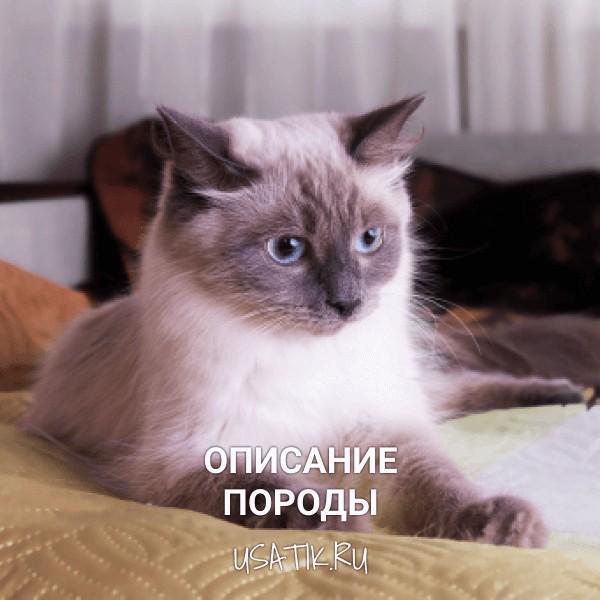 Невская маскарадная кошка - описание породы