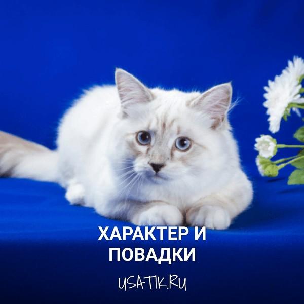 Характер и повадки невских маскарадных кошек