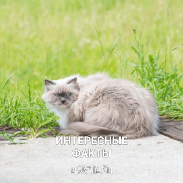 Интересные факты о невских маскарадных кошках