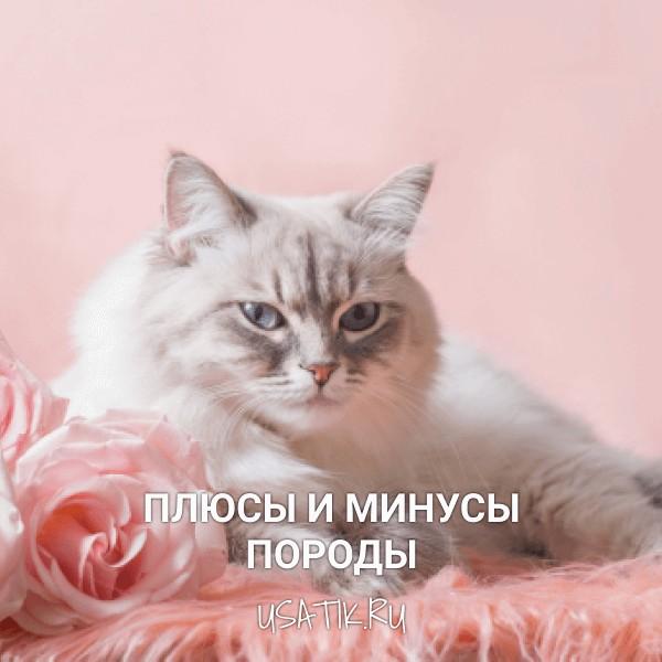 Плюсы и минусы невских маскарадных кошек