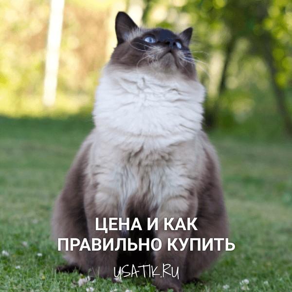 Норвежская лесная кошка - цена и как правильно купить