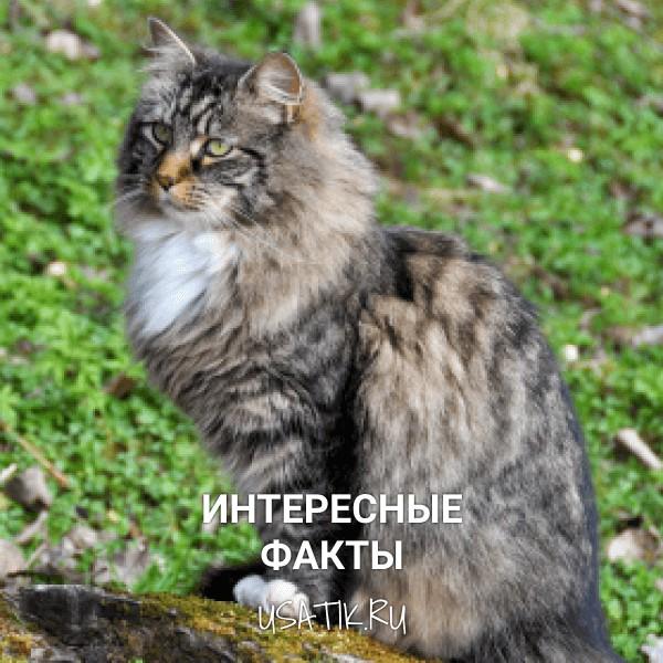 Интересные факты о норвежских лесных кошках