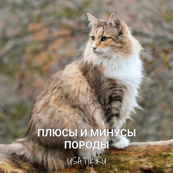 Плюсы и минусы норвежских лесных кошек