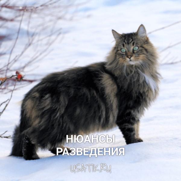 Разведение норвежских лесных кошек