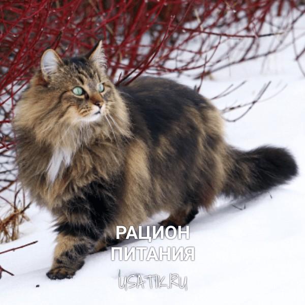 Рацион питания норвежских лесных кошек