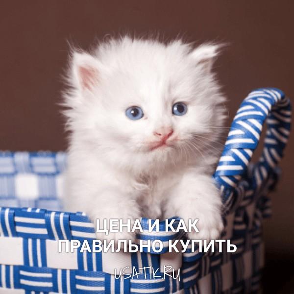Персидская кошка - цена и как правильно купить