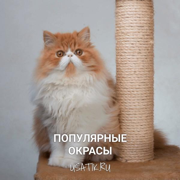 Популярные окрасы персидских кошек