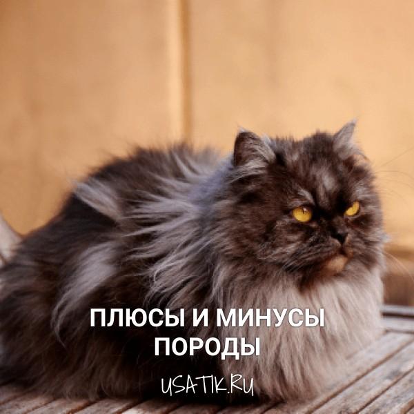 Плюсы и минусы персидских кошек