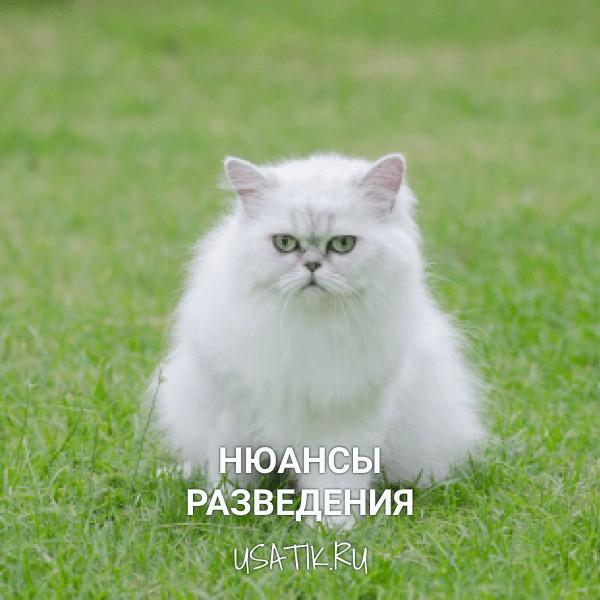 Разведение персидских кошек