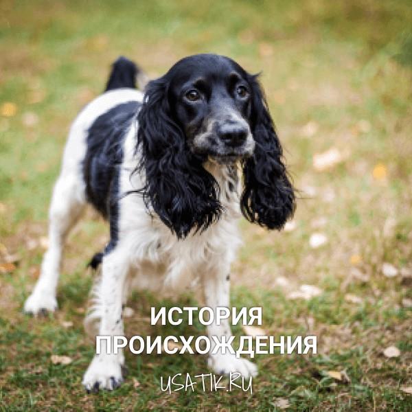 История происхождения русских охотничьих спаниелей