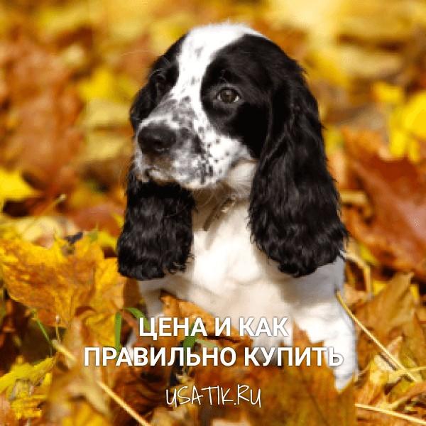 Русский охотничий спаниель - цена и как правильно купить