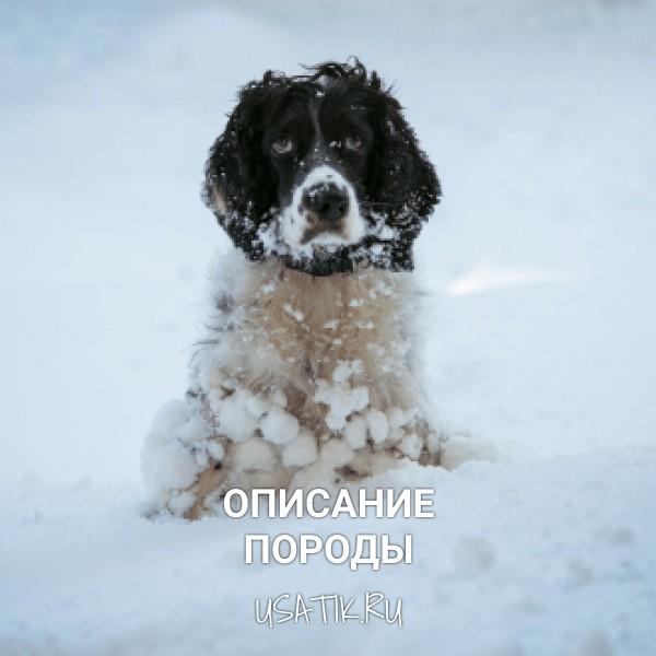 Русский охотничий спаниель - описание породы