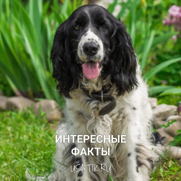 Интересные факты о русских охотничьих спаниелях