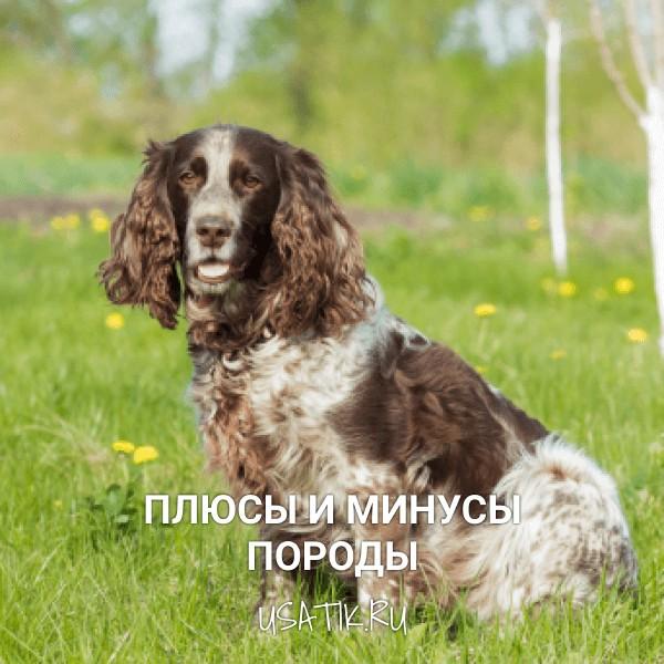 Плюсы и минусы русских охотничьих спаниелей