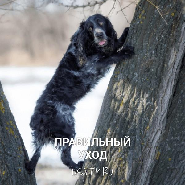 Уход за русскими охотничьими спаниелями