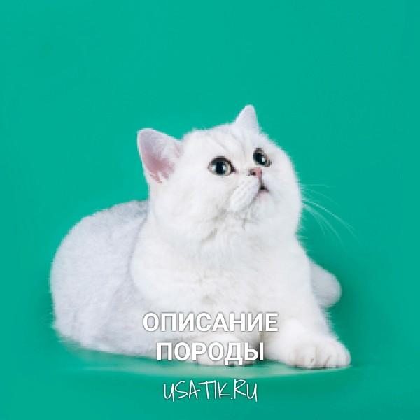 Шотландская прямоухая кошка - описание породы