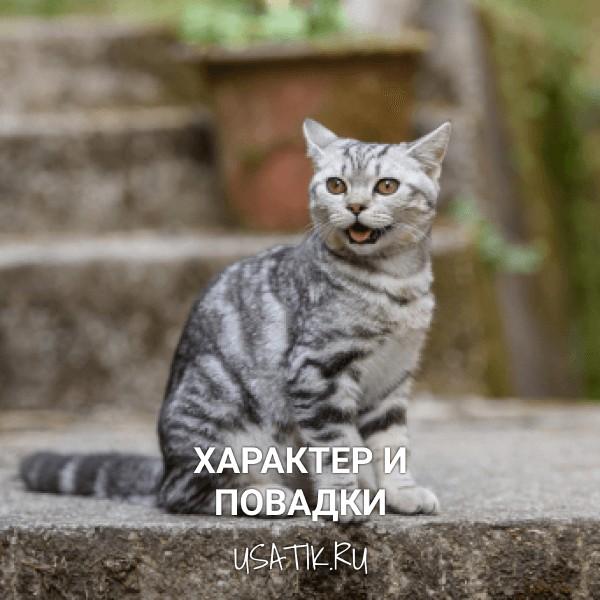 Характер и повадки шотландских прямоухих кошек