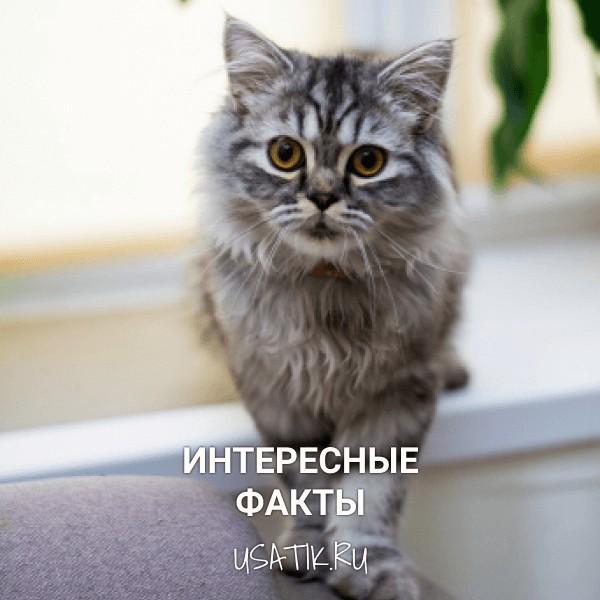 Интересные факты о шотландских прямоухих кошках