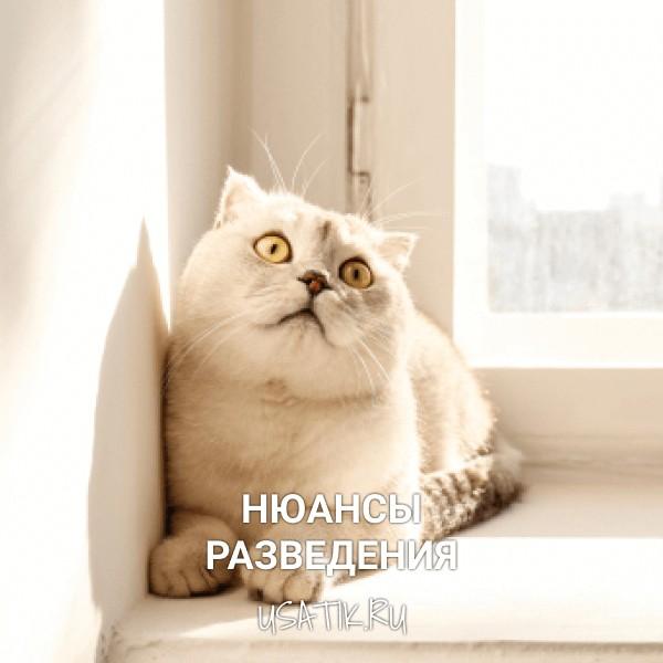 Разведение шотландских прямоухих кошек