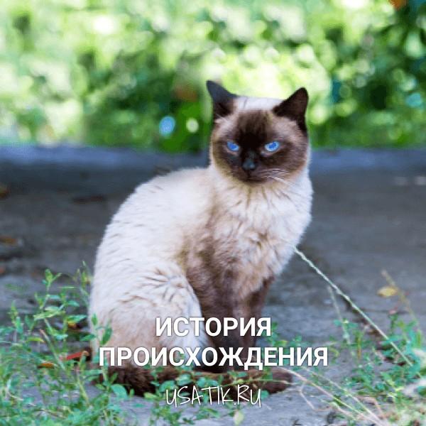 История происхождения сиамских кошек