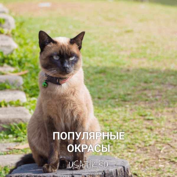 Популярные окрасы сиамских кошек