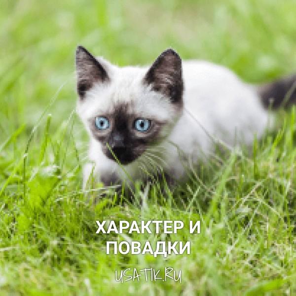Характер и повадки сиамских кошек
