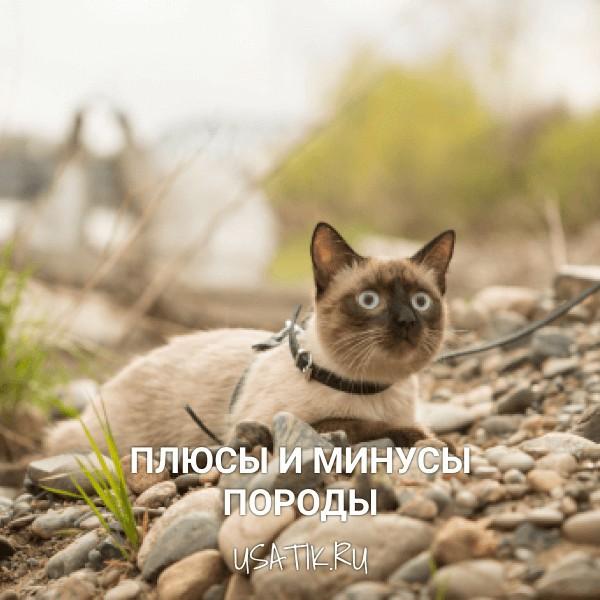Плюсы и минусы сиамских кошек