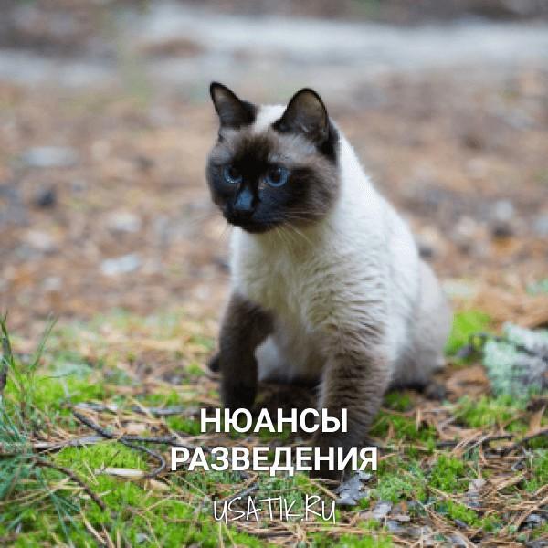 Разведение сиамских кошек