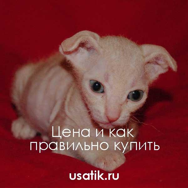Украинский левкой — цена и как правильно купить
