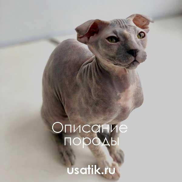 Украинский левкой — описание породы