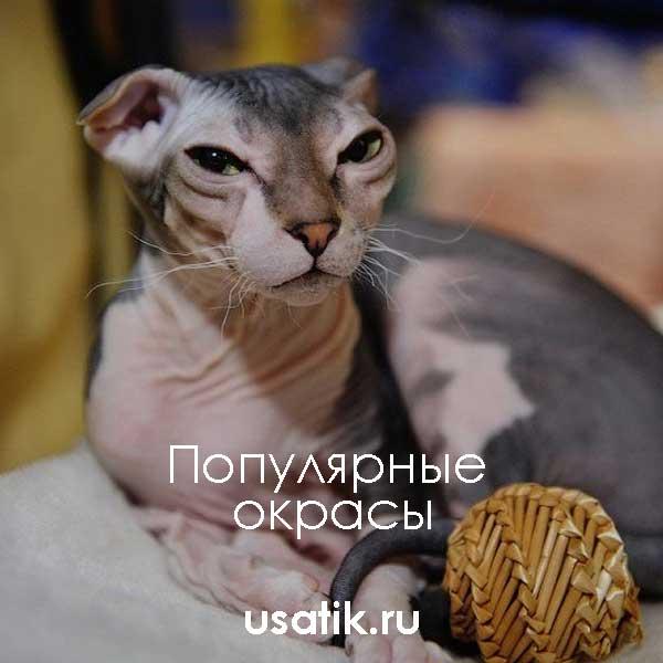Популярные окрасы украинских левкоев
