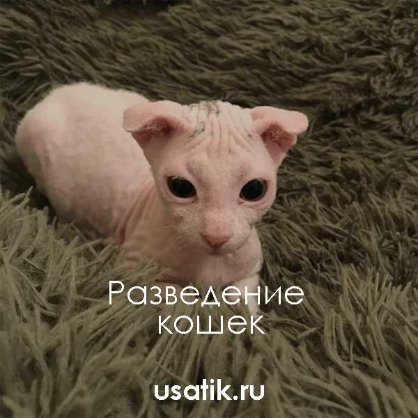 Разведение украинских левкоев