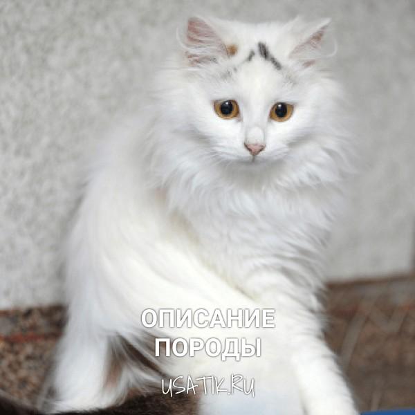 Ангорская кошка - описание породы