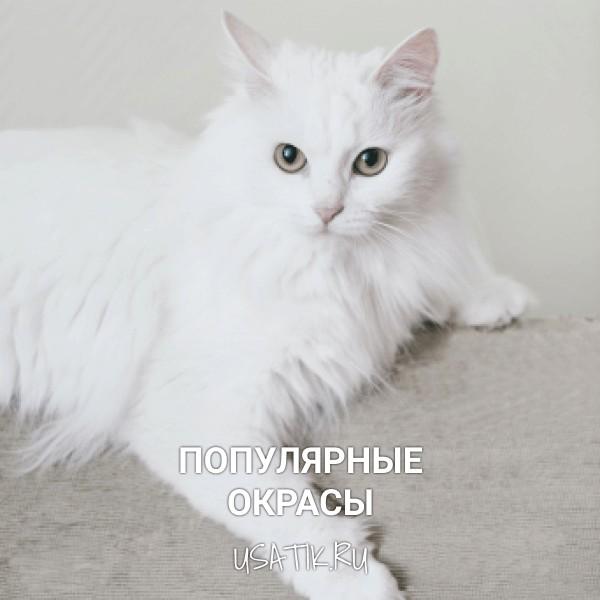 Популярные окрасы ангорских кошек