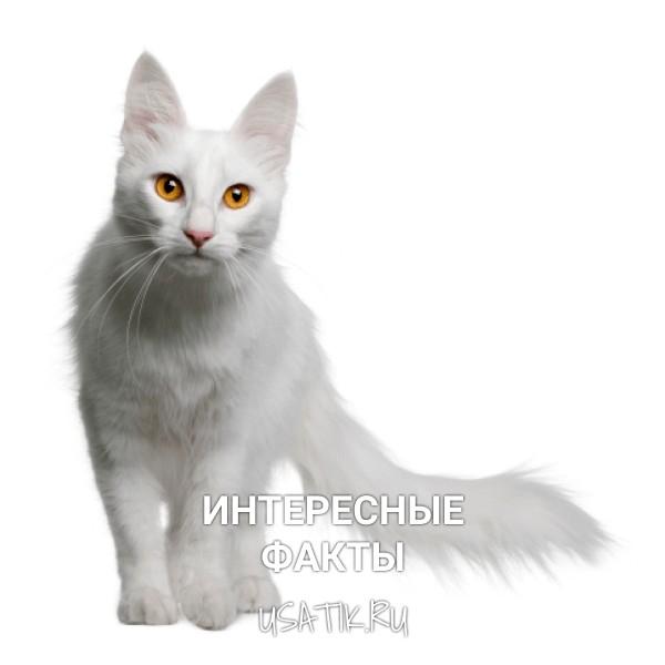 Интересные факты об ангорских кошек