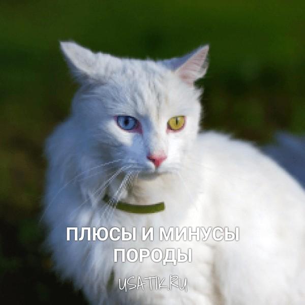 Плюсы и минусы ангорских кошек