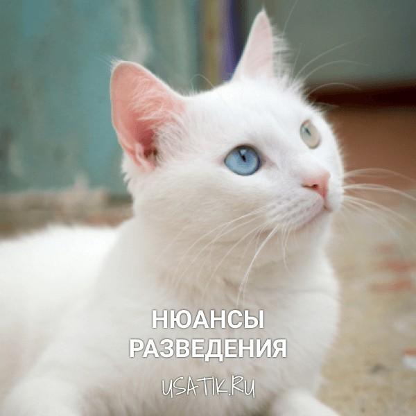 Разведение ангорских кошек