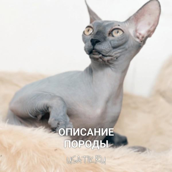 Донской сфинкс - описание породы